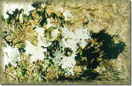 White Rhododendron (Blooming Around November-February)